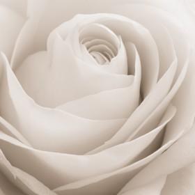 бутон розы