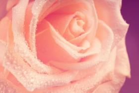 роза на темном фоне
