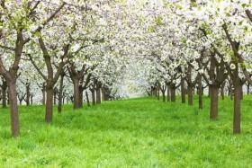 вишневые сады