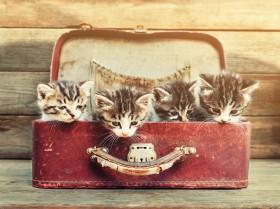 котята в чемодане