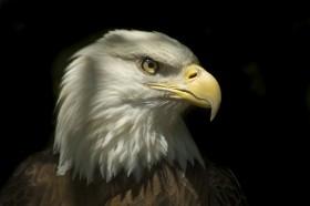 орел на темном фоне