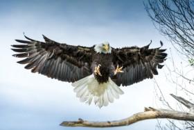 орел, дерево