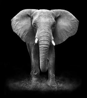 слон на темном фоне