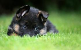 щенок, черный