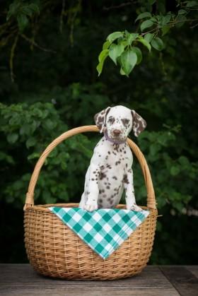 щенок в корзине