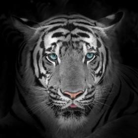 тигр на темном фоне