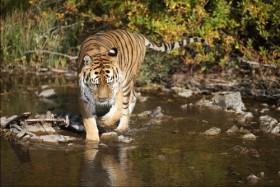 тигр на водоеме